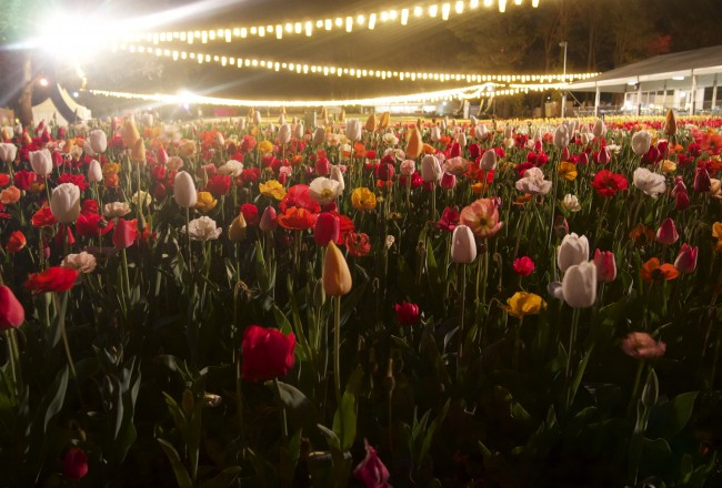 Tulips and poppies at night