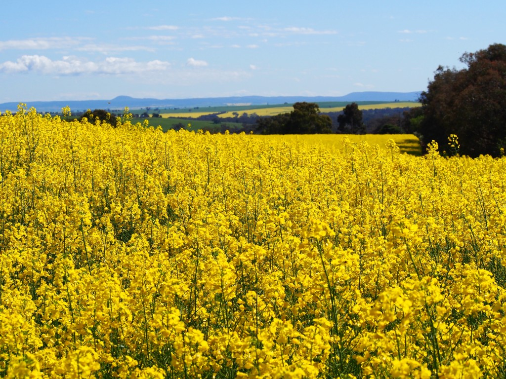 Paddocks of canola